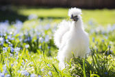 Baby hen hiding in the grass — Stock Photo