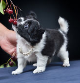 Dog. Breed - Chihuahua — Stock Photo