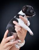 Dog. Breed - Chihuahua — Stockfoto
