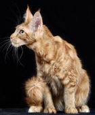 Cat. Breed - the Maine Coon — Stock Photo