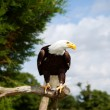 Bald eagle bird of prey — Stock Photo #14450355