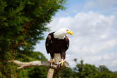 Bald eagle bird of prey — Stock Photo