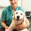 Stock Photo: Female Veterinary Surgeon Treating Dog In Surgery