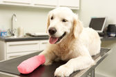 Dog Recovering After Treatment On Table In Veterinary Surgery — Stock Photo