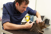 Male Veterinary Surgeon Examining Cat In Surgery — Stock Photo