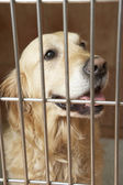 Golden Retriever Dog In Cage — Stock Photo