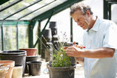Man Working In Greenhouse — Stock Photo