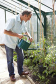 Man Watering Tomato Plants In Greenhouse — 图库照片
