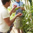 Father And Son Harvesting Home Grown Tomatoes — Stock Photo #48301909