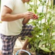 Man Harvesting Home Grown Tomatoes — Stock Photo #48301911