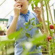 Boy Eating Home Grown Tomatoes — Stock Photo #48301937