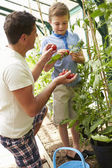 Tomates cultivados em casa pai e colheita filho — Foto Stock