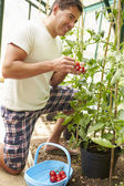 Man Harvesting Home Grown Tomatoes — Stock fotografie