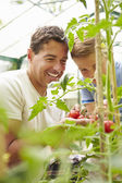 Father And Son Harvesting Home Grown Tomatoes — Foto Stock