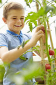 Boy Harvesting Home Grown Tomatoes — Stockfoto