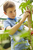 Boy Harvesting Home Grown Tomatoes — Stok fotoğraf