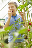Boy Eating Home Grown Tomatoes — Stockfoto