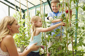 Mother And Children Harvesting Tomatoes — Stock Photo