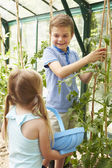 Children Harvesting Home Grown Tomatoes — Stock Photo