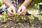 Man Planting Seedling In Ground — Stock Photo