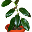 Ficus closeup — Stock Photo