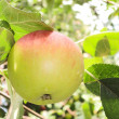 Ripe apple on a branch — Stok fotoğraf