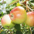 Ripe apples on a branch — 图库照片