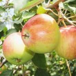 Ripe apples on a branch — Stok fotoğraf