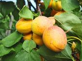 Ripe apricots on a branch — Stock Photo