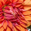 Big red flower — Stock fotografie #29781437