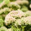 A yarrow flower — Foto de Stock