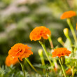 Background from marigold flowers — Stock Photo #30529031