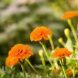 Stock Photo: Background from marigold flowers