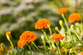 Background from marigold flowers — Stock Photo