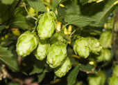 Cones and leaves of hops — Stock Photo