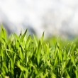 Green grass with dew drops 2 — Stock Photo