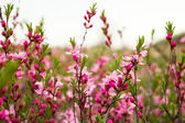 Flowering shrub of the field — Stock Photo