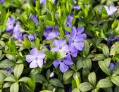 Periwinkle blue closeup — Stockfoto