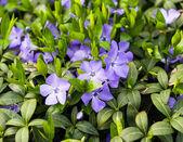 Periwinkle blue closeup — Stock Photo