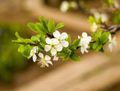 Twig flowering tree closeup — Stock Photo