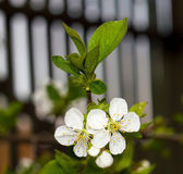 Twig flowering tree closeup 4 — Stock Photo