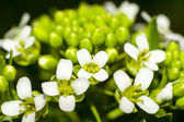 White small flowers close up — Foto Stock