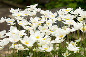 An anemone forest closeup 4 — Foto de Stock