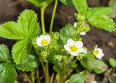 Blossoming strawberry bush — Foto de Stock