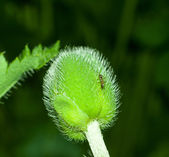 Poppy bud with ant closeup — Stockfoto