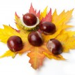 Chestnut — Stock Photo #14134235