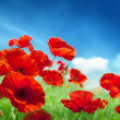 Poppy flowers on field — Stock Photo