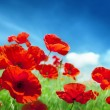 Stock Photo: Poppy flowers on field