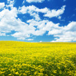 Field with yellow flowers and blue sky Tuscany, Italy - Stock Photo