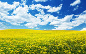 Field with yellow flowers and blue sky Tuscany, Italy — Stock Photo